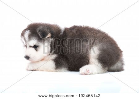 Siberian Puppy Isolated