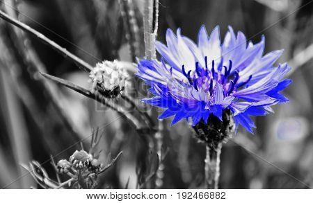 Close up of a beautiful blue Cornflower in Spring sunlight