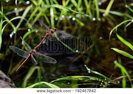 Coupling of red dragonflies, in flight and near water