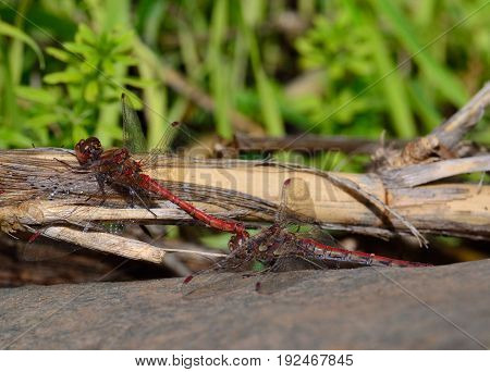 Coupling of red dragonflies on cane stalk