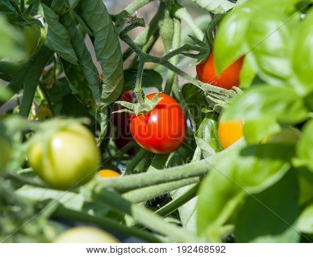 Tomatoes ripening in summer sun with foliage