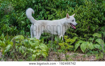 Large white dog standing in front of lush green foliage looking into the distance.