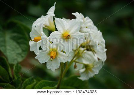 Blossom of potato plant, Solanum tuberosum, agriculture
