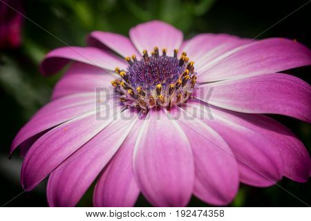 Cape daisy, Osteospermum, flowers of the gardens