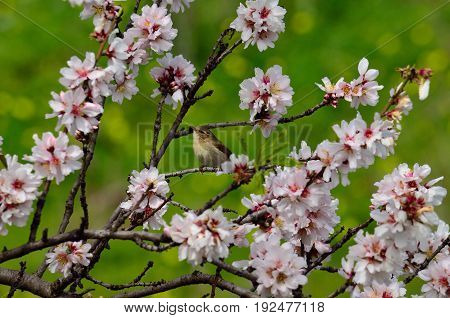 Small phylloscopus amidst flowers of almond tree