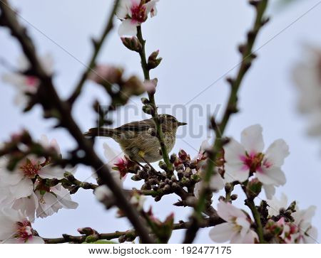 Small phylloscopus on almond tree in bloom