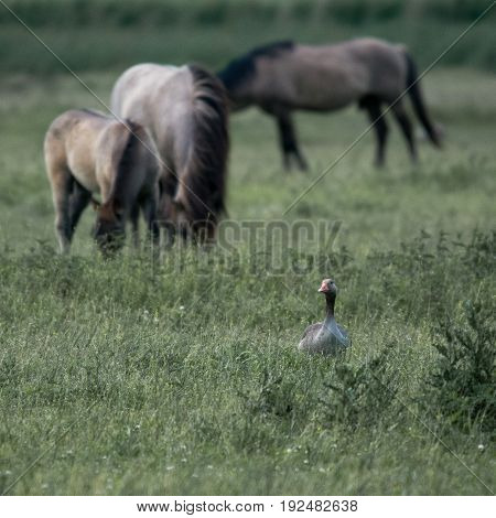 Konik Horses grazing in the Dutch nature reserve Oostvaardersplassen.