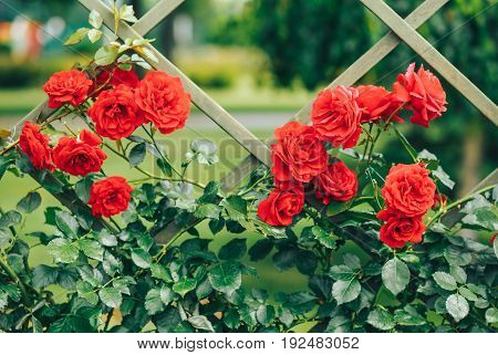 red beautiful roses climbing on a decorative fence