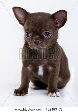 Chihuahua puppy of brown color