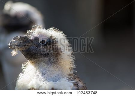 Cute ugly bird with feather in mouth. Penguin shedding plumage during moult (molt). Nature image with copy space.