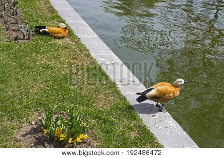 Two Ruddy Shelducks On The Shore Of A Pond.