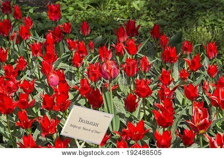 Tulips Of