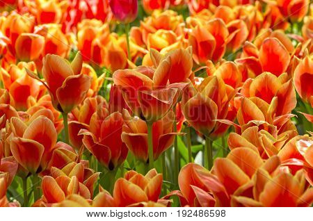 Tulips Of A Greigii Calypso Species