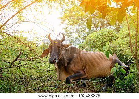 Cow on grass insect on body at daytime