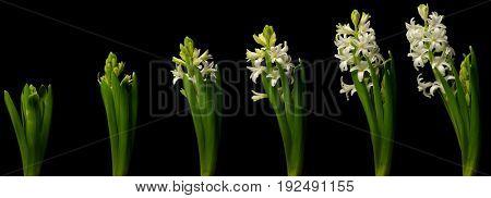 White hyacinth time lapse series