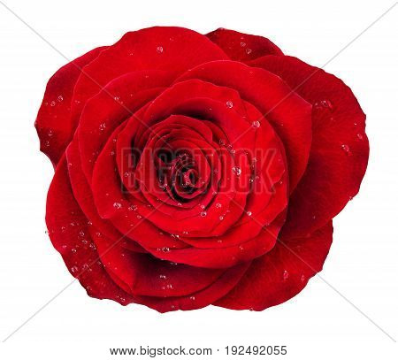 Red rose flower rosette with drops of water isolated on white. Top view.