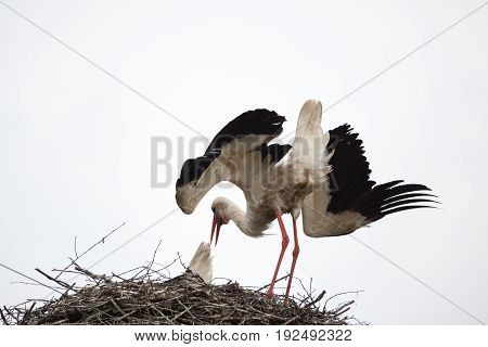 The adult white stork in a nest has inclined the head and has raised wings against the background of the light blue sky