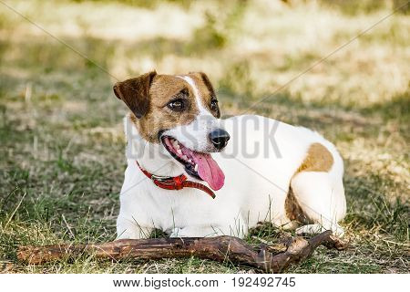 Jack Russell Terrier dog lying with a wooden stick on the grass