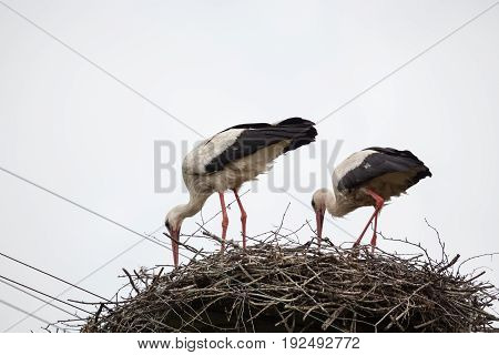 Two adult white storks in the slot synchronously tilted the heads against the background of the light blue sky