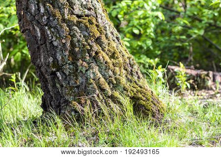 Stump with moss in autumn forest. Old tree stump covered with moss in the coniferous forest beautiful landscape. Green nature concept