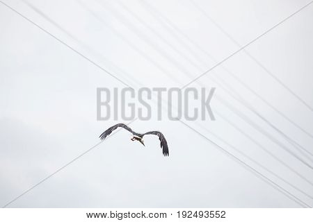 The adult white stork flies away with the lowered wings against the background of the light blue sky
