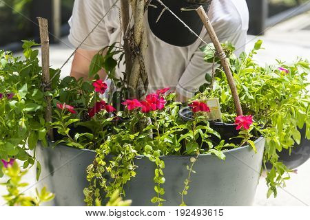 Planting bright red flowers in a new flower pot