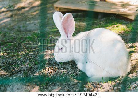 White Rabbit on a ground on farm