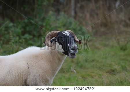 Cativating horned sheep in a remote location