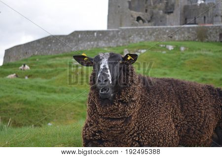 Beautifuly colored Sheep In A remote location
