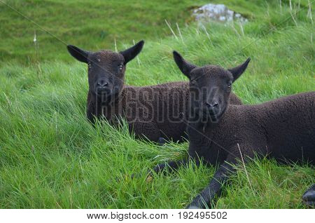 Two Adorable Black Sheep Resting In A Field