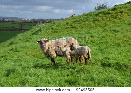 A mother and her babies wandering in a grassy field