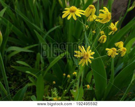 A bright yellow wild flower swept through the garden .
