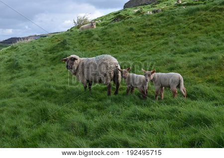 Beautiful Sheep Roaming a field in ireland