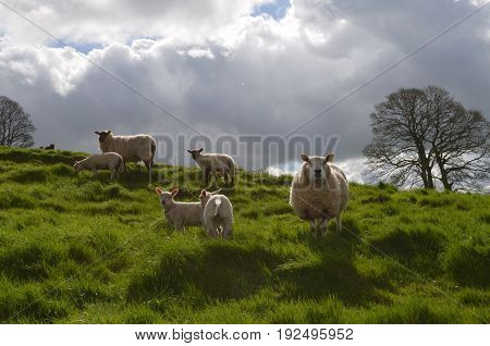 multiple Sheep In a field in Ireland on a beautiful day