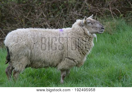 Beautiful White Sheep roaming a field in ireland