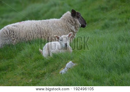 Cute white baby sheep in a remote location