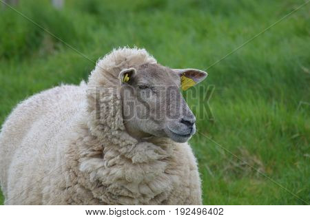 Beutiful White Sheep Looking in the distance