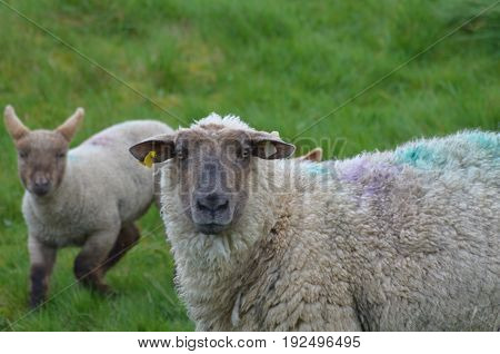 Adorable Sheep in a field in Ireland