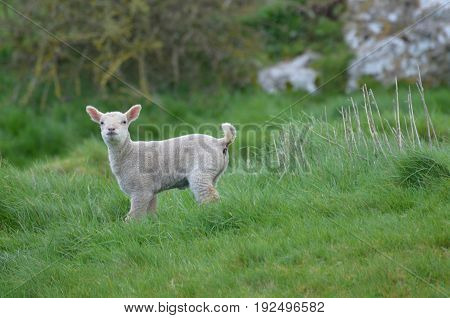 cute white sheep in a field in ireland