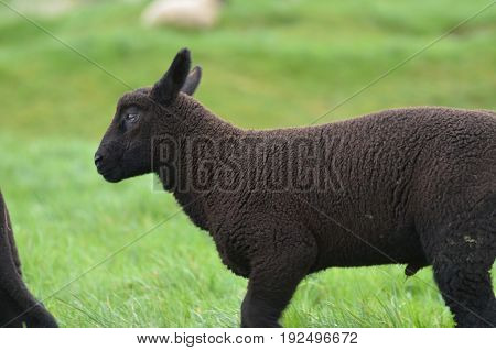 Adorable black sheep in a filed in a remote location