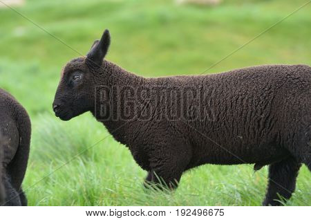 Cute Balck Sheep in a filed in Ireland