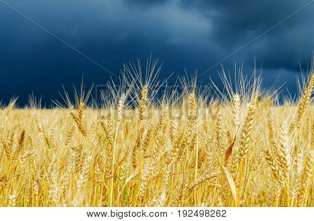 golden color crop on field. rain before