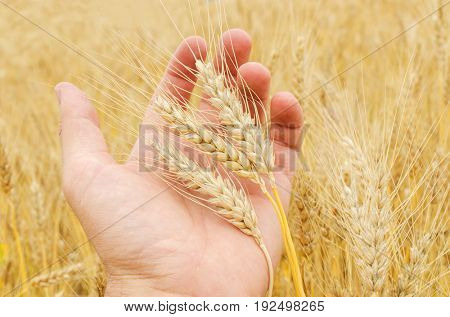 ripe crop in hand over field