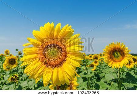 flower of sunflower closeup on field