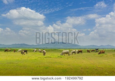 Group Of Cow Crowd Walking And Eating Green Grass Beside Lake Of Lam Takong