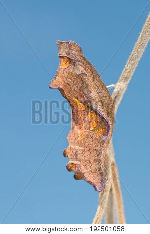 Beautiful chrysalis of Pipevine Swallowtail butterfly, hanging on a Pipevine, against blue sky