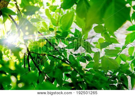 Fresh green tree leaves with sunlight ray. Natural composition. Summer concept. Closeup. Soft focus.