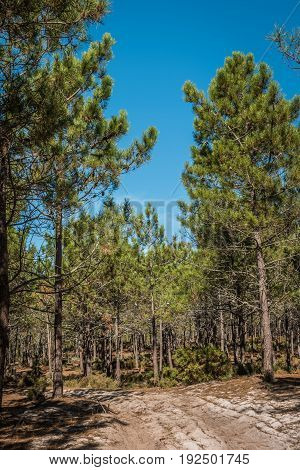 Spring landscape in the pine forest during the day