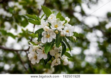 A flowering apple tree branch. White flowers on a branch. Close-up. Spring story.