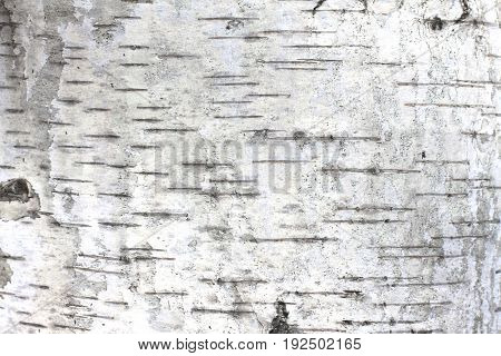 Texture of birch bark as natural wooden background